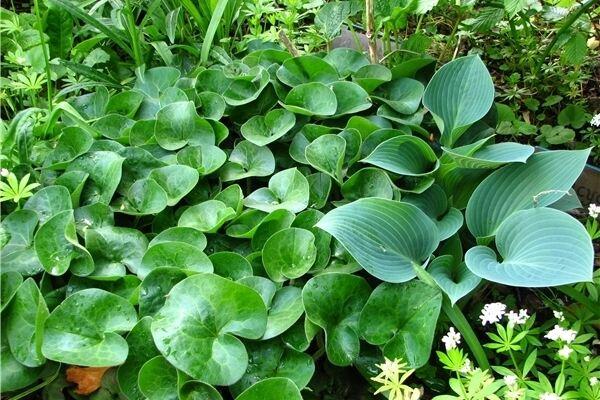 bodendecker geh ren zu den unverzichtbaren pflanzen. Black Bedroom Furniture Sets. Home Design Ideas
